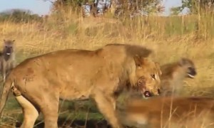 An Audacious Hyena Pack Does The Unthinkable To A Lion In This Amazing Never Before Seen Footage