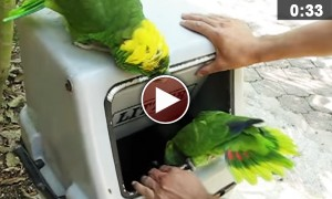 Watch A  Couple Of Parrots Laugh Like Drunk Girls