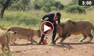 Man In A Suit Plays Soccer With Wild African Lions