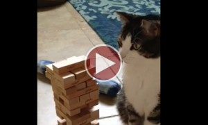 Kitty Is Extremely Good At Jenga But Decides To Throw A Hissy Fit
