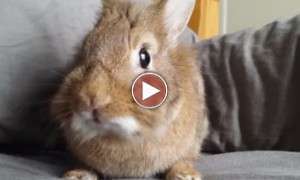 Simba The Rabbit Eating A Raspberry Is The Cutest Thing You Will See Today!