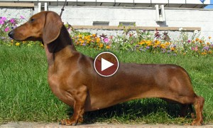 I Was Shocked To See This Kiss Between A Cute Little Dachshund And His Friend!