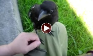 This Man And A Crow Becoming Friends Is The Sweetest Video You'll See Today