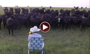 A Modern Day Pied Piper Puts A Herd of Cows Into A Trance With His Trombone!