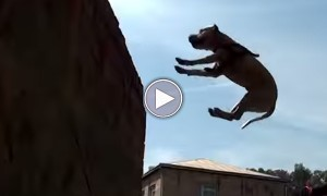 It's A Bird, It's A Plane... No It's Parkour Dog!!