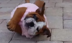 This Cute Little Bull Dog Pup Tries Hard To Roll Over But Fails Adorably