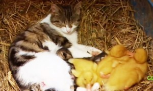You Will Simply Love This Candid Love Story Between A Cat And Some Baby Ducklings