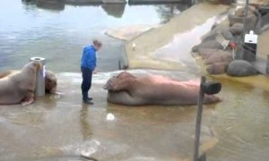 Watch A Walrus Channel Rocky Balboa And Do Sit Ups