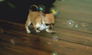 Watch This Ultra Slow Motion Video Of Cute Chihuahua Playing With Bubbles