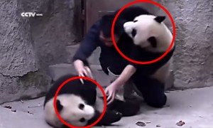 A Poor Zookeeper Gets Mauled By Two Pandas And It Is Adorable!
