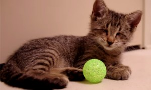 Watch This Heart Touching Video Of A Blind Kitten As It Plays With Its First Toys