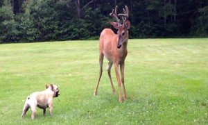 A French Bulldog And A Buck Had The Most Playful Moment Ever!