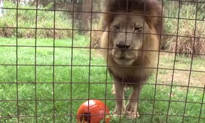 Big Cats Were Given Halloween Pumpkins And The Outcome Was Quite Unexpected