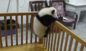 Cute Baby Pandas Try To Escape In The Most Adorable Way Possible
