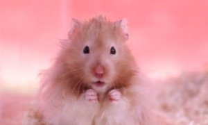 This Slow Mo Video Of Chubby Hamsters Having Fun Is The CUTEST Thing You Will See Today
