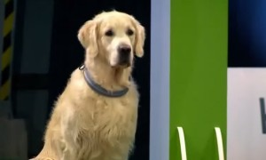 Golden Retriever Fails Racing Competition Like A Boss!
