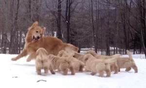 Watch This Heartwarming Video Of A Golden Retriever Playing With Her Pups