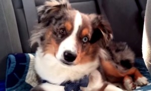 This Puppy Does The Most Adorable Thing Ever When This Song Comes On The Radio