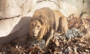 Genius Enters A Lion Enclosure And Gets What He Deserves