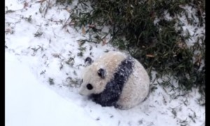 Baby Panda Playing In His First Snow Storm Is The Cutest Thing You Will See Today
