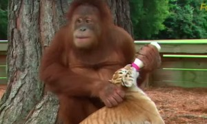 See how Asian ape Orangutan is babysitting cubs, cute and inspiring