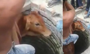 Muslim man jumps into well to save cow, Watch Video
