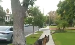 This Is How A Loyal German Shepherd Is