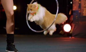 Amazing Cats Performing At A Talent Show!
