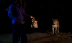 This Video Of A Gir Lioness Harassed By Locals Will Leave You Amazeballed