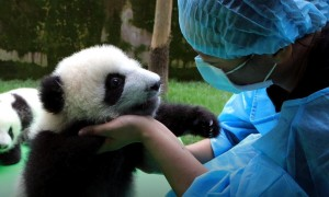 Watch This Cute Panda Making Its First Public Appearance