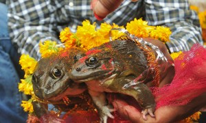 BJP minister gets two frogs married to please gods of rain