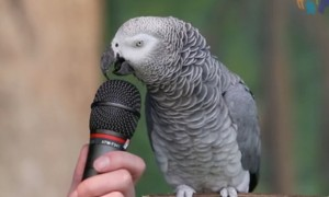 This Parrot is more talented than I'll ever be