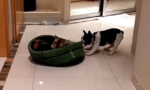 Determined puppy attempts to reclaim stolen bed from cat
