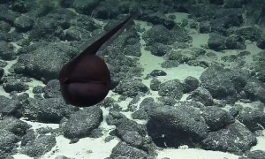 Submarine Captures A Rare Footage Of A 'Shape-Shifting' Gulper Eel