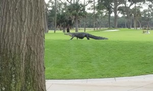 Huge Gator Strolls Through South Carolina Golf Course