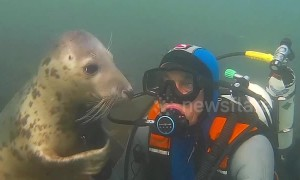 Adorable wild seal follows diver to give him a hug