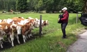 Herd of cows rush over to listen to accordion player