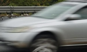 Flock of Geese Using Highway Merging Lane