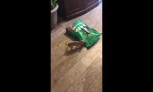 Two-month-old Chihuahua attacks 15lb bag of dog food