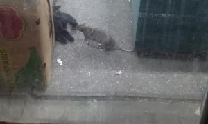 New York Rat Bullies Cat out of the Way