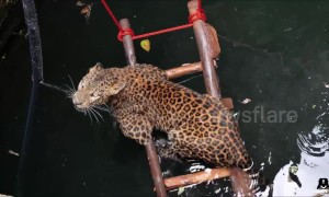 Leopard rescued from drowning in deep well in India