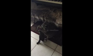 Adorable battle between Becky the raccoon and upstart kitten