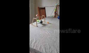 Budgie shows off incredible football skills