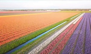 Spectacular aerial footage shows colourful bands of Dutch tulips