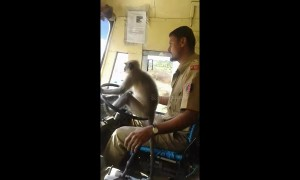Cheeky monkey attempts to drive bus in India