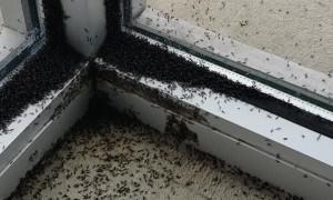 Massive Midge Invasion