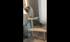 Tiny kitten attacks pudgy pup for sitting in its spot