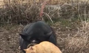 Hank the pig gets some love from feral cat