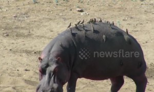 Hungry birds gather on hippo's back for a rare feast