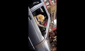 Toby the labrador loves to drive a car on busy Indian roads